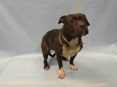 MURDERED 5/24/16 Brooklyn Center LULA – A1073280 **LEGAL HOLD 05/11/16** FEMALE, BLACK / WHITE, PIT BULL MIX, 1 yr STRAY – STRAY WAIT, HOLD FOR LEGAL Reason OWNER HOSP Intake condition EXAM REQ Intake Date05/11/2016, From NY 11234, DueOut Date05/14/2016, I came in with Group/Litter #K16-056924 Urgent Pets on Death Row, Inc