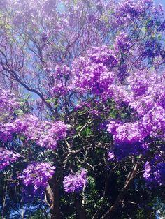 Spring jacaranda in Erskineville