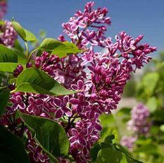 High Altitude Gardening: Fragrant Lilacs in High Altitudes