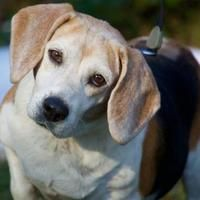 Pet Card Paws Rescue Beagle Therapy Animals