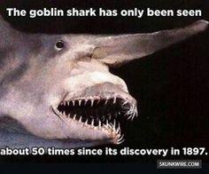 """Goblin Shark: Deep Ocean """"Sea Monster"""".  How could that be real? #monster #goblins #sharks #rare"""