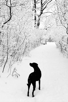 I found this picture and love it, reminds me so much of my sweet Sable. She loved snow as much as I did!