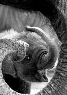baby elephant in the trunk of her mother, photo, black and white, animals, largest land mammal
