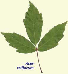 Acer triflorum three flowered maple zone 4