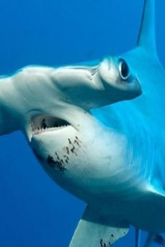 Sideways Swimming Is More Efficient For Hammerhead Sharks(VIDEO) #sideways #swimming #hammerhead #sharks #sea #world