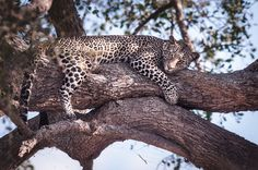 A jam packed safari in Tanzania with leopards, lions and plenty of wildlife. African Safari, Leopards, Tanzania, Panther, Lions, Animal Pictures, Wildlife, Adventure, Awesome