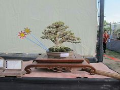 Picture of Oka Sunarya at  Pameran Bonsai Nasional Gianyar 2016.  #Bonsai #BonsaiTree #盆栽 #BonsaiLife #Бонсай #IndondesianBonsai  #BonsaiWork #盆景 #Penjing #Bonsaï #BonsaiExhibition