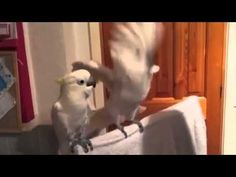 Cockatoo loves elvis.