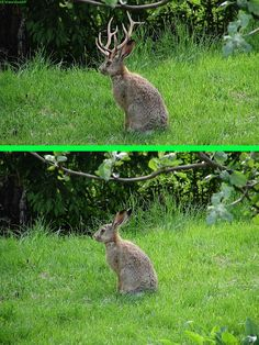 Fake - jackalope - The original image of a rabbit is on the bottom.