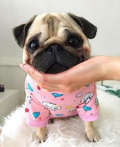 Mommy's hand makes a great chin rest 🐶🖐🏼 - Sweet Pugs Baby Animals Super Cute, Cute Funny Animals, Sweet Dogs, Pugs And Kisses, Baby Pugs, Cute Dogs And Puppies, Doggies, Pug Love, Pitbull
