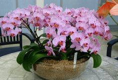50 pcs/bag orchid seeds bonsai Butterfly phalaenopsis orchid potted flower seeds perennial garden plant for home garden flowers Orchid Seeds, Flower Seeds, Flower Pots, Garden Plants, House Plants, Indoor Garden, Garden Oasis, Terrace Garden, Indoor Plants