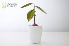 Avocado Incubator    The Avocado incubator is a simple way to start thegrowthof an avocado seed.
