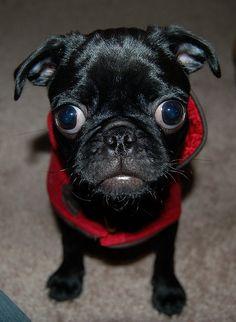lil' black curious pug :)