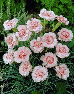 Nelke  'Doris' Dianthus 'Doris'
