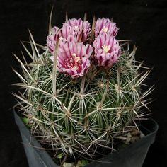 echinofossulocactus sp. '091'Stenocactus