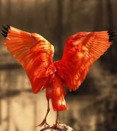 Scarlet ibis angel like wings.#birds #scarlet #ibis #angel #wings