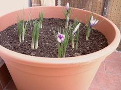 Come coltivare lo zafferano (in vaso e nell'orto)