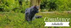 Maine Coon, Black Bear, Garden Sculpture, Outdoor Decor, Animals, Cat Breeds, Animales, American Black Bear, Animaux