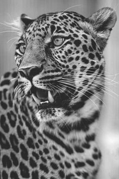 Black and White Animal Photos Lion Pictures, Animal Pictures, Jaguar Noir, Animal Espiritual, Jaguar Tattoo, Big Cat Tattoo, Realistic Animal Drawings, Animals And Pets, Cute Animals