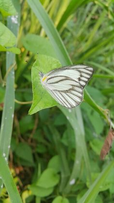 Whitty butterfly