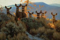 Mule deer painting by Greg A Beecham