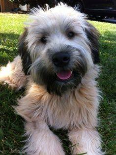 """Stella Bella <3 My Wheaten Terrier"" Such a beautiful girl, beautiful coloration and such a pretty smile!"