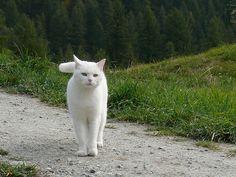 feher cica