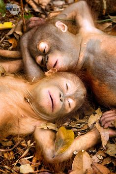 Sleeping Baby Orangu...