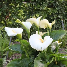 The classic Giant White Calla, with large white blooms. Easy to grow in warm soil outdoors or bright light indoors, this plant flowers about 2 months after planting. Order at Park Seed today!