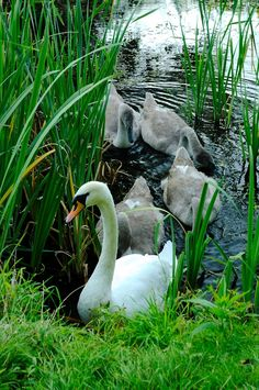 Swans:  Mama #swan and grown #cygnets.