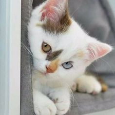 Cute Cats And Kittens And Dogs And Puppies Cute Kittens Love Cute Cats And Kittens, I Love Cats, Kittens Cutest, Ragdoll Kittens, Tabby Cats, Kittens Meowing, Siamese Cats, Big Cats, Pretty Cats