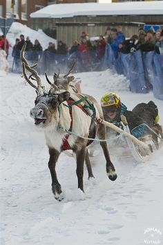 Pic to print............................................... Reindeer races in Lapland-Sweden