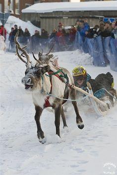 Pic to print............................................... Reindeer races in Lapland-Sweden