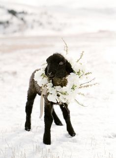 Adorable Montana lambs and flower girls make for unbelievably beautiful winter wedding photos at The Ranch at Rock Creek, Montana. Baby Animals, Cute Animals, Cute Sheep, Baby Sheep, Wedding Ceremony Flowers, Wedding Rings, Little Bo Peep, Lord Is My Shepherd, Herding Dogs