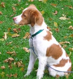 Country of origin: the brittany (also accepted as the 'american brittany', 'brittany spaniel', and 'epagneul breton') originated in the.