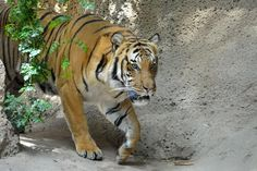 Malayan Tiger (Panthera tigris jacksoni) [1000x666][OC] - http://ift.tt/2frErGw