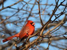 Northern Cardinal  I still miss you, Gramma.