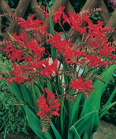 Crocosmia, Lucifer-- a more wide-angle photo, so you get an idea of the overall shape. HUMMINGBIRDS LOVE IT