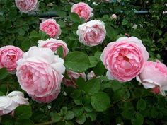 """""""Heritage""""—a wonderful David Austin rose that is incredibly fragrant, low maintenance and tolerant of harsh Midwestern winters. Bountiful pink flowers, too."""