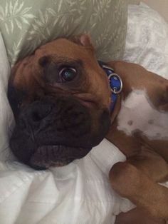 When i told my Harley he was fixed! #boxerlove
