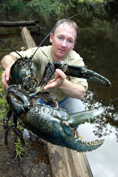 Tasmanian Giant Freshwater Crayfish is the world's largest freshwater invertebrate. Due to habitat loss & over fishing, it has unfortunately become an endangered species. Unusual Animals, Rare Animals, Animals And Pets, Strange Animals, Beautiful Creatures, Animals Beautiful, Vida Animal, Gato Grande, Water Life