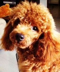 Toy Poodle Dogs| Toy Poodle Dog Breed Info & Pictures | petMD