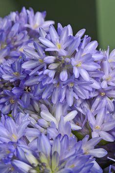 Fruhlingsstern Blaue Feuerwerksblume In 2020 Blumen Pflanzen Feuerwerk