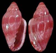 Bangor Limestone Formation North Alabama Crazy Price Crinoids Indet
