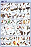 Birds Educational Science Chart Poster Posters