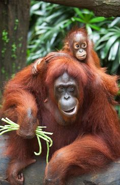 The Singapore Zoo is home to the largest social colony of orangutans. The zoo offers visitors an option of eating a wild breakfast with the cheeky apes, but be warned: These orangutans aren't exactly known for their table manners, and lucky guests might find themselves in need of a shower after their mea