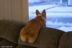 It's tough to view a world through a window. by jigarne, via Flickr #corgi