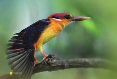 Oriental Dwarf Kingfisher - juvenile (Black-backed Kingfisher)