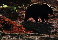 Morgenstimmung im BÄRENWALD Arbesbach Black Bear, Brown Bear, Beautiful Pictures, Autumn, Gallery, Animals, Fall Weather, Beautiful Images, Animal Welfare