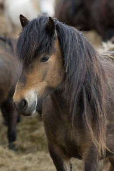 Icelandic horses, Skagafjorour Fjord, Iceland